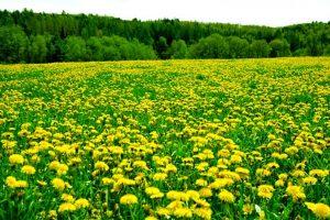 Kopriva i maslačak: Ove lekovite biljke pomažu kod bronhitisa, leče anemiju i mnoge druge bolesti!