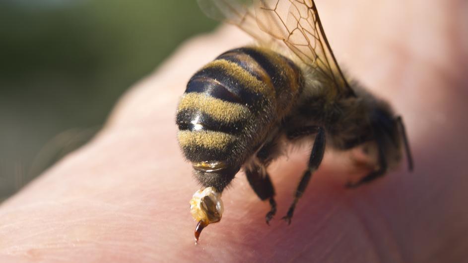 Kako sprečiti napad pčele i ose, a šta uraditi ako vas ubodu!