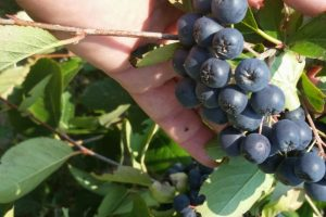 ARONIJA: Voće kao hrana i lek
