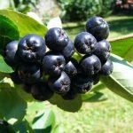 ARONIJA-čudesno voće!