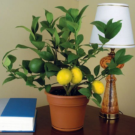 Gajite limun u svojoj dnevnoj sobi!