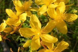 Kantarion lekovita svojstva - Kantarionovo ulje i čaj od kantariona