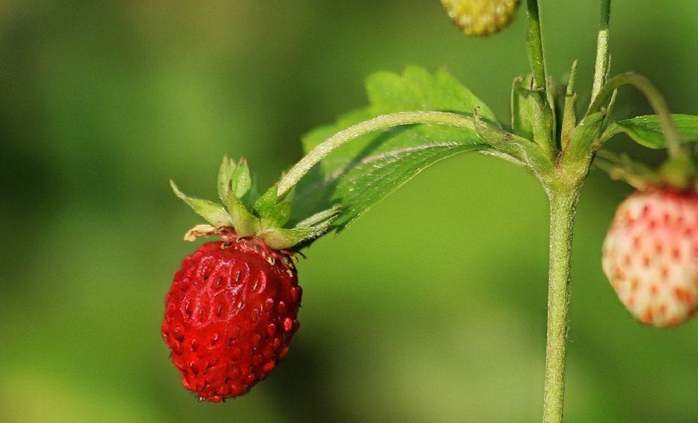 Šumske jagode kao prirodni lek: Ovo bobičasto voće sprečava holesterol i dijabetes (