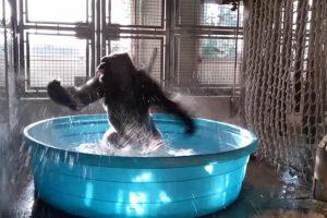 Gorila Zola plesom u bazenu oduševila milione ljudi širom sveta (VIDEO)