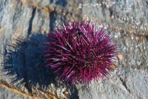Šta ako u moru nagazite na ježa?