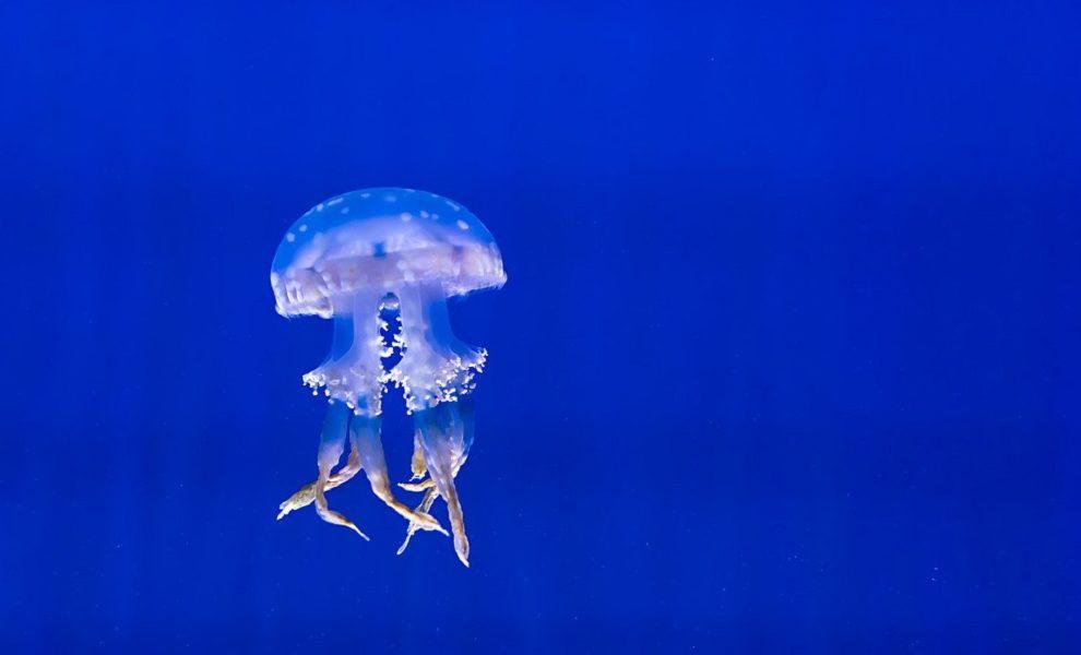 Šta da radiš ako te opeče meduza?