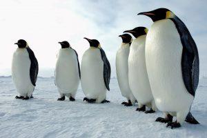 Čile odbacio rudarski projekat vredan milijardu dolara zbog pingvina