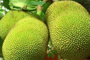 Nangka, egzotično voće iz Azije, moglo bi da reši problem gladi u svetu