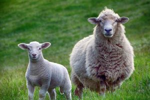 Ovako je nastao običaj brojanja ovaca pre spavanja!