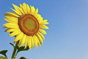 Seme suncokreta je lek za mnoge bolesti!