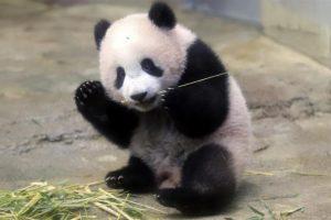 Francuska beba panda u prvom nastupu za javnost