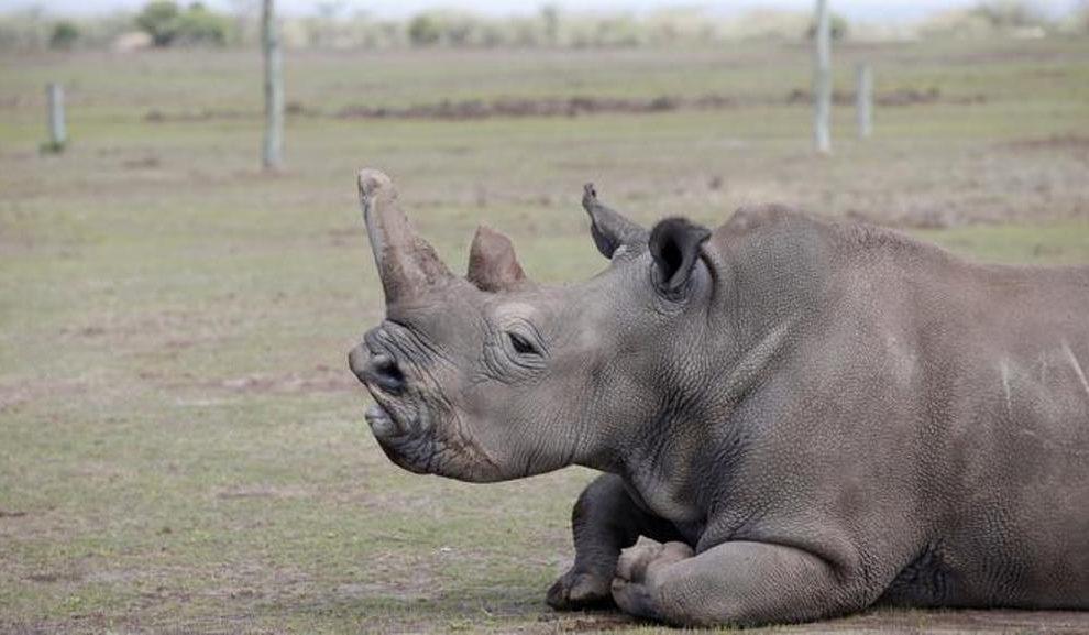 Uginuo poslednji mužjak severnog belog nosoroga na svetu