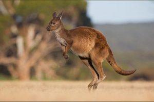 Uginuo kengur u zoo vrtu u Kini - posetioci ga gadjali kamenicama da bi skakao