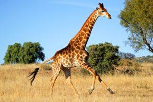 Žirafa rodila mladunče dugo skoro dva metra