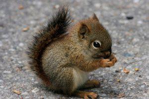 Veverice imaju jednu zanimljivu ljudsku osobinu!
