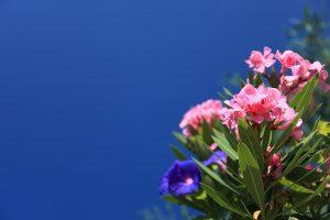 OPASAN LEPOTAN: ukrasni oleander jedna je od najotrovnijih, ali omiljenih baštenskih biljaka