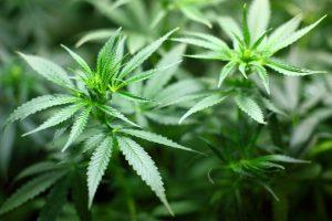 Marihuana poboljšava seksualno iskustvo kod žena!