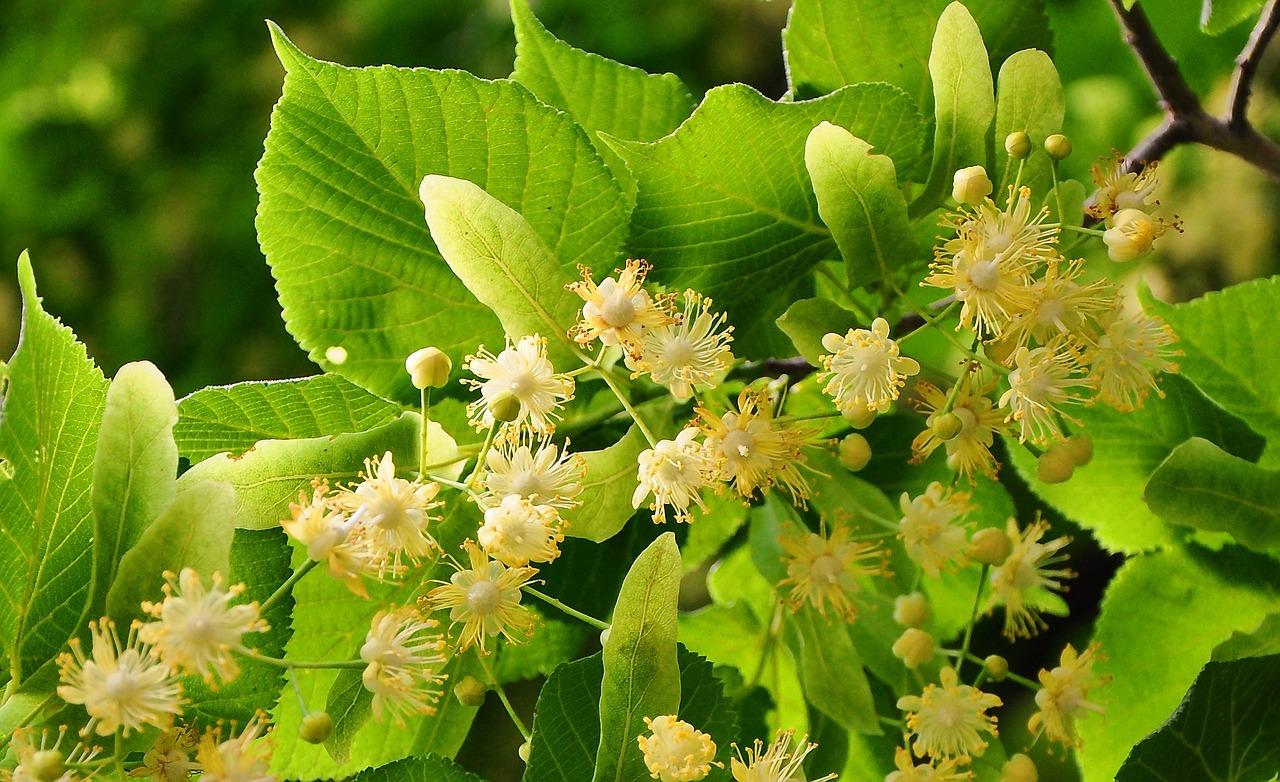 Lipa – lepa i veoma zdrava biljka!