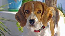Poznato je da psi vide drugačije – a da li znate zašto im oči sjaje u mraku?