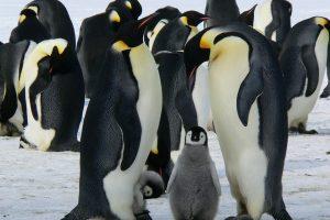 Gej pingvini usvojili jaje