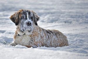 ZABLUDE O SNEGU I ZIMI: Da li krzno zaista štiti od hladnoće i da li psi mogu dobiti buve i krpelje na snegu?