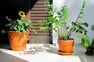Zašto vam umiru kućne biljke?