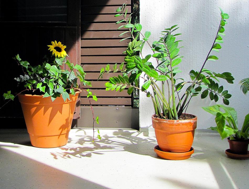 Ova biljka donosi novac i sreću! Najbolja stvar: Uspeva čak i antitalentima!