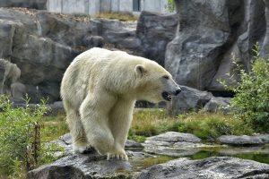 Vanredno stanje u Rusiji: Masovna invazija polarnih medveda