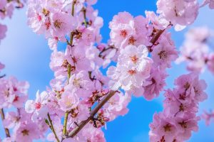 Uživajte u prelepim prizorima cvetanja trešnje širom sveta!
