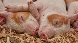 Veliki pomak za nauku: Oživeli mozak svinja četiri sata nakon što su zaklane