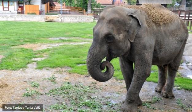 Dobro držanje u ovako dubokoj starosti za jednog slona Manojlović pripisuje pre svega dobroj svakodnevnoj ishrani koju joj pružaju radnici Zoo-vrta i upućuje molbu svim posetiocima da ne hrane Tvigi hranom koju nose sa sobom, jer to može da utiče na njeno zdravlje.  Iako je sada teška gotovo dve i po tone, Tvigi (Mršavica) je nekada bila mala i mršava i ime je dobila po popularnoj manekenki iz perioda njenog rođenja.  U beogradskom zoološkom vrtu stanuje preko 2.000 životinja, a dnevno kroz ovaj vrt prođe čak i do 4.000 ljudi.