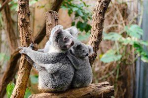Nestala jedna od najomiljenijih životinja, naučnici proglasili kraj: IZUMRLE SU KOALE!