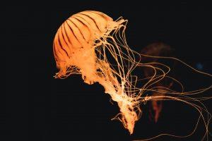 U Jadranskom moru se pojavila otrovna KOMPAS MEDUZA