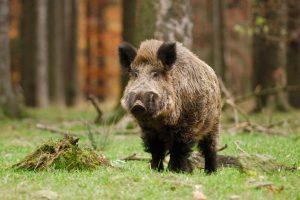 Šta se dešava sa divljim svinjama?!