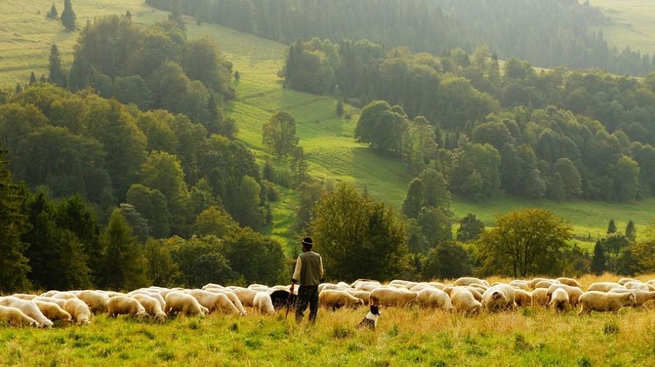 Radite kao pastir 35 sati nedeljno za 25.000e!