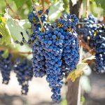 Dijeta: Grožđe za dobru liniju i zdravo srce
