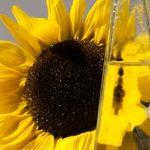 SUNCOKRETOVO ULJE može biti jako zdravo ali samo ako se koristi na OVAJ način!!
