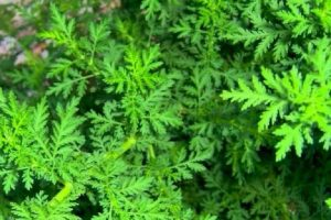 NAJKVALITETNIJI preparat od SLATKOG PELINA, biljke koja dokazano djeluje i vrlo je jak saveznik u borbi protiv korona virusa, bakterija i infekcija, proizvodi se u Mostaru!